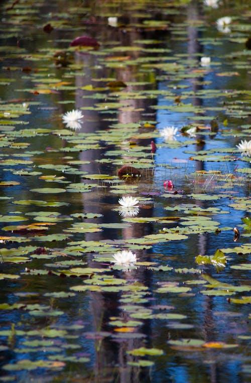 Gratis stockfoto met natuur, Waterlelie