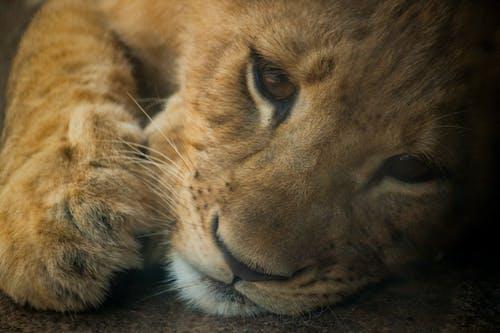 Gratis stockfoto met baby, bahati, dieren in het wild, leeuw