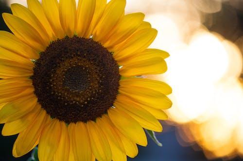 Gratis stockfoto met goud, tuin, zomer, zonnebloem