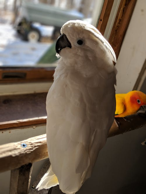 Free stock photo of cockatoo