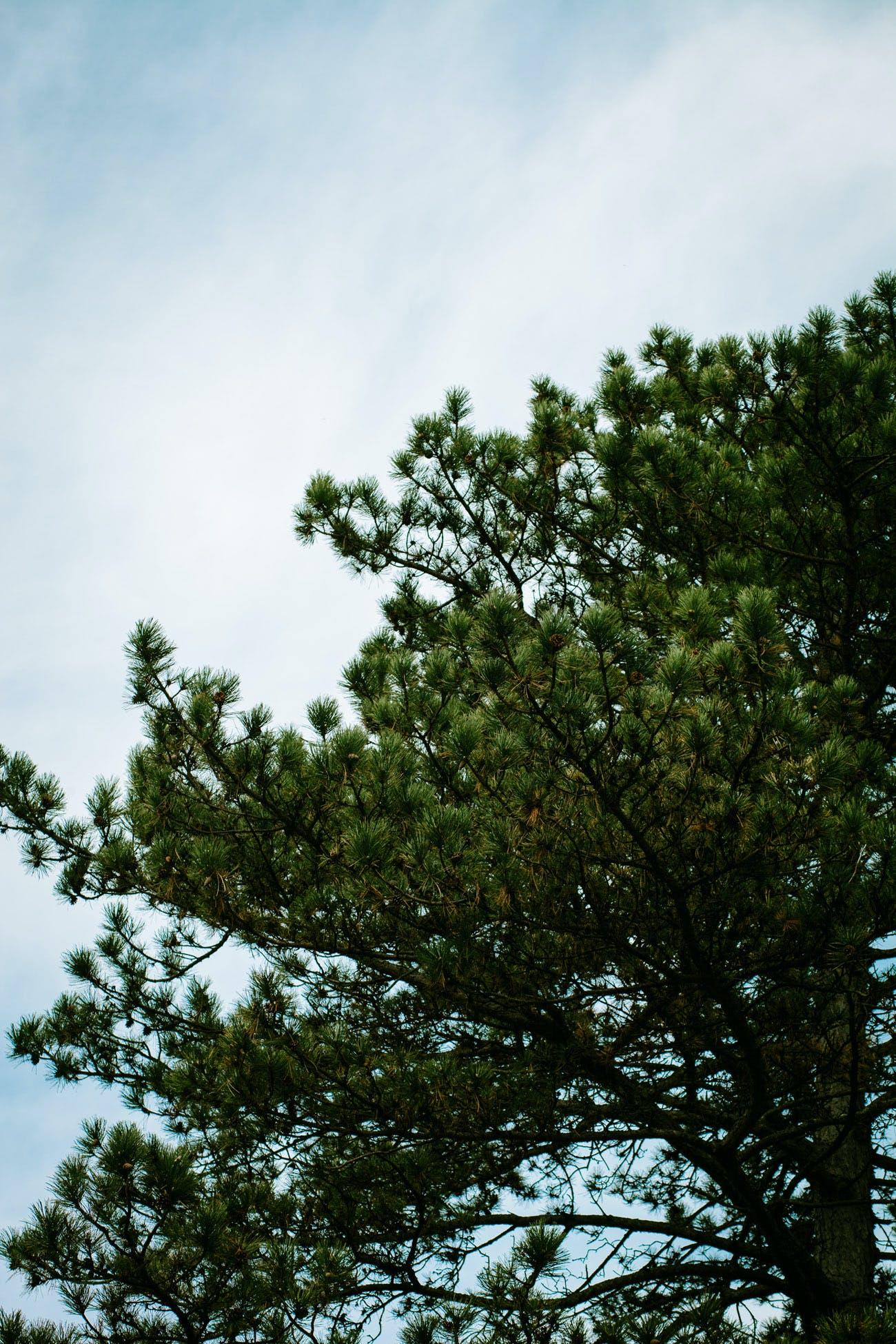 Free stock photo of sky, clouds, tree, pine needles