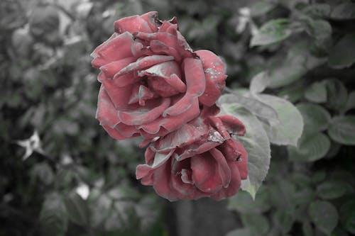 Kostenloses Stock Foto zu lebendrose, natur, rose, Übergang