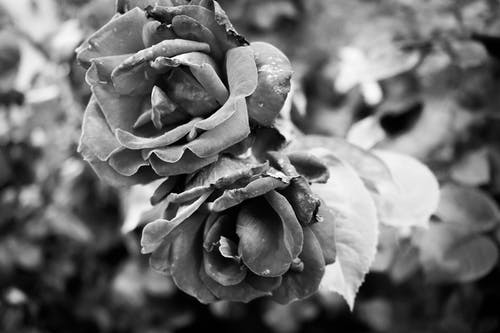 Monochrome Photography of Flowers