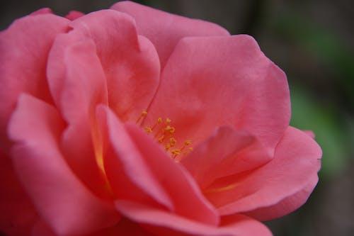 Free stock photo of garden roses, pink rose, rose