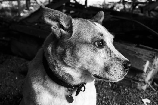 Monochrome Photography of a Dog