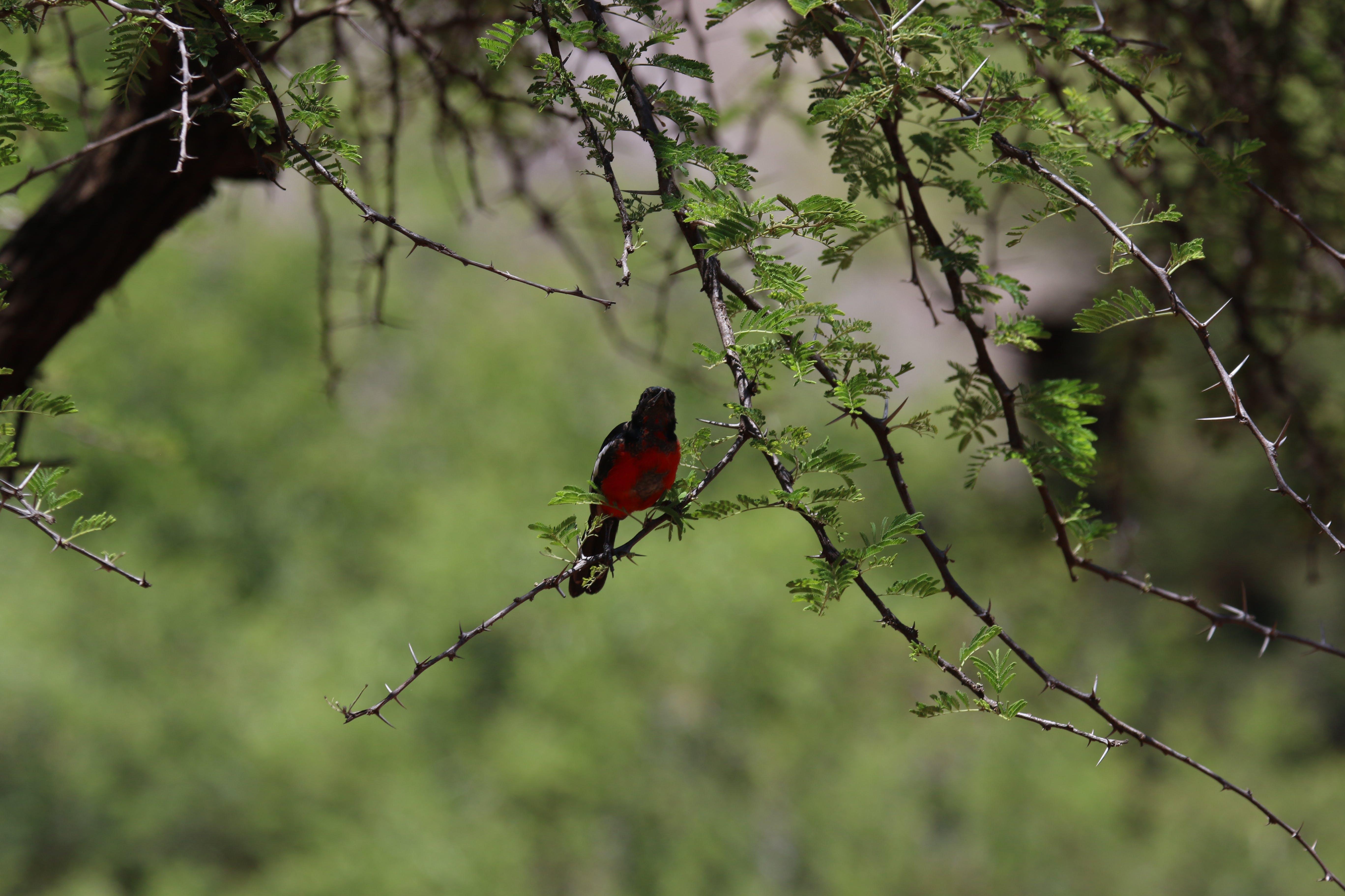 Free stock photo of nature, bird, red, grass
