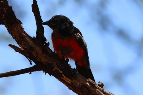 Small Black and Red Bird