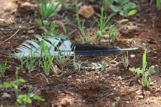 Depth of Field Photography of Black and White Bird Feather Between Eleusine Indica Crowfoot Grass