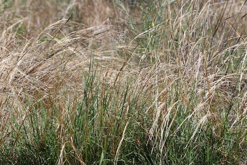 Gratis stockfoto met achtergrond, droog, gras, groei