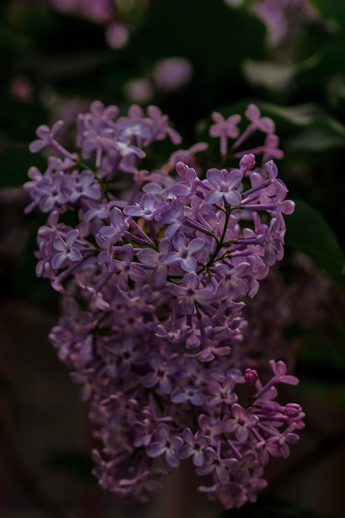 Close-Up Shot of Lilac Flowers in Bloom