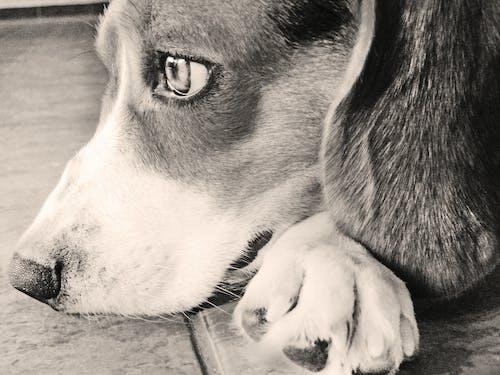 Kostenloses Stock Foto zu beagle, bezaubernd, frieden, haustier
