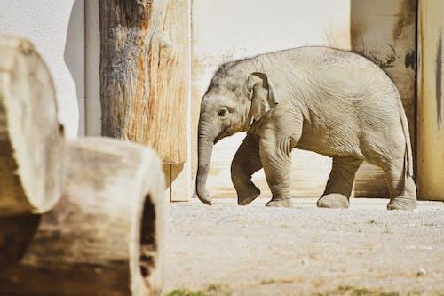 Gray Elephant Walking on Brown Sand