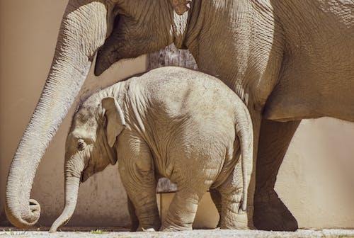 2 Brown Elephants on Brown Soil