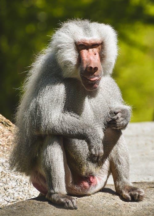 Gratis arkivbilde med bavian, dyr, dyrehage