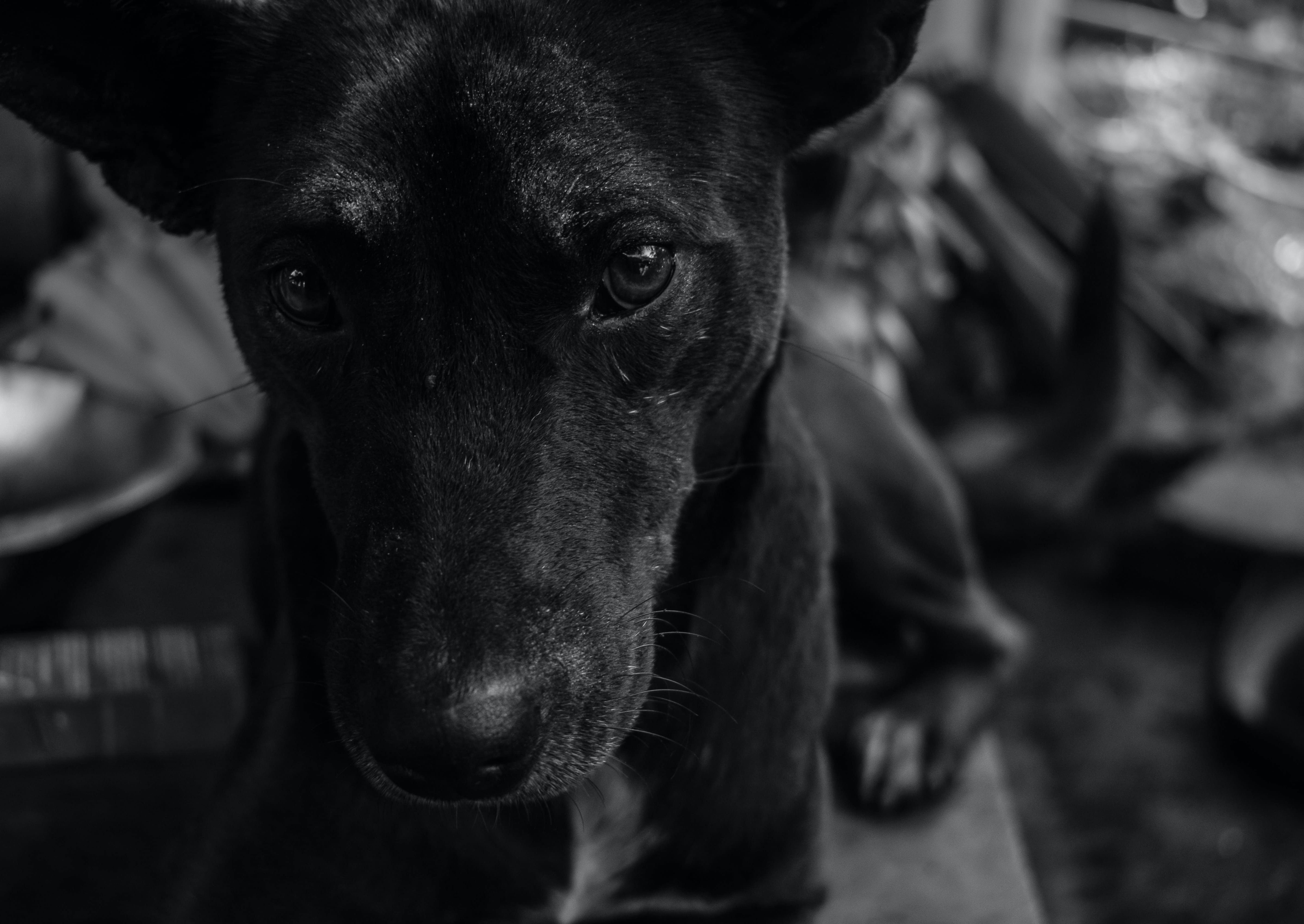 Grayscale Photo of Short Coated Dog