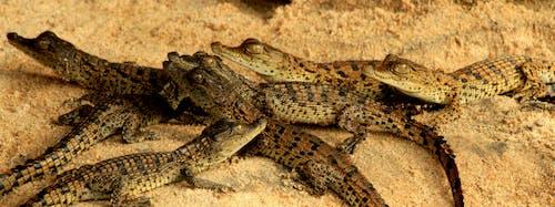 Free stock photo of baby crocodiles, Crocodile, crocodile nest