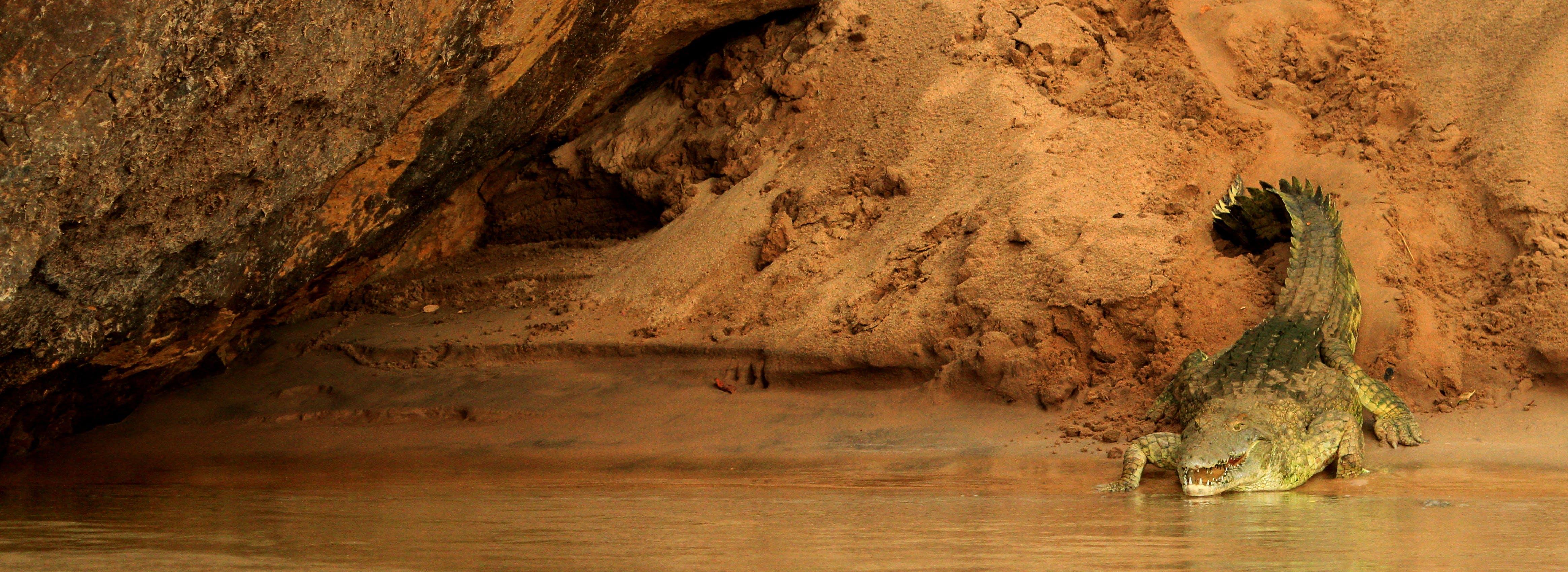 Brow Crocodile Beside River