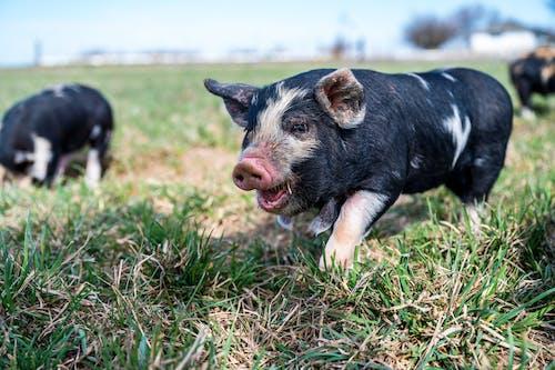 Immagine gratuita di agricoltura, alla ricerca, animale