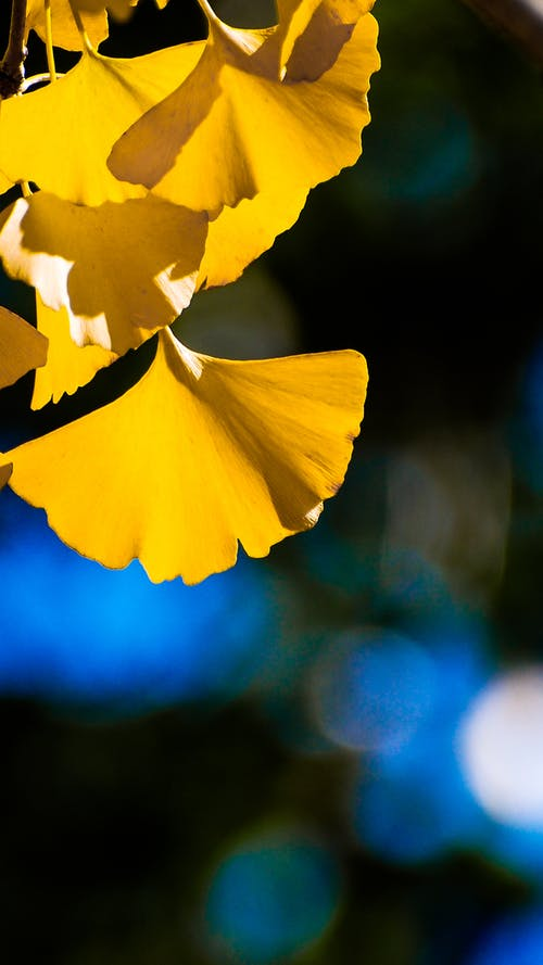Free stock photo of ginkgo