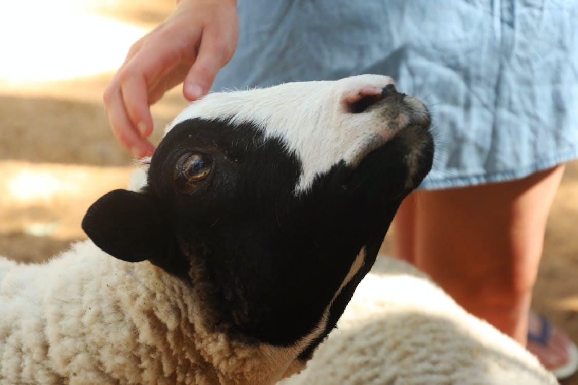 Beige and Black Sheep