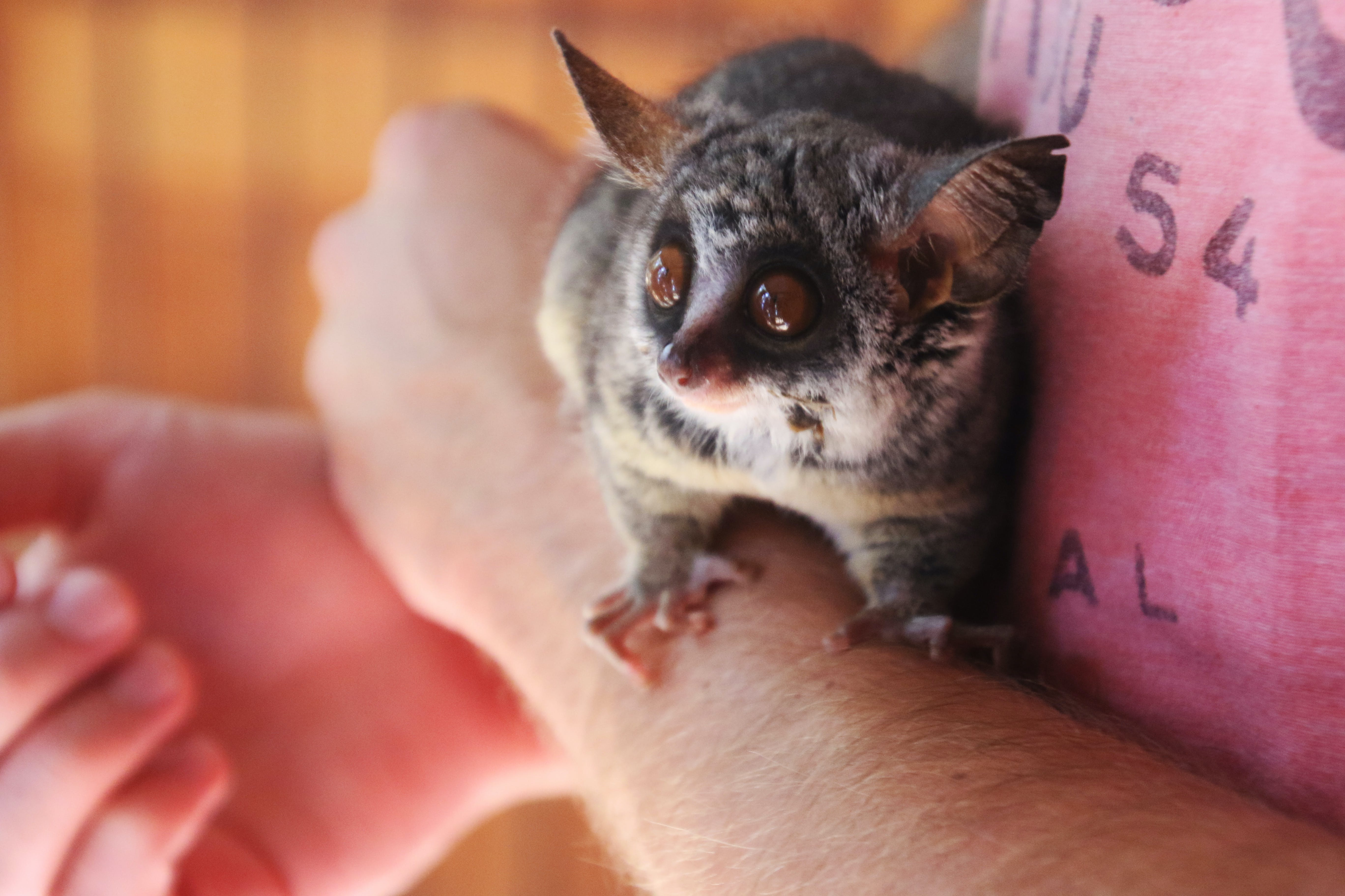 Person Holding Galago