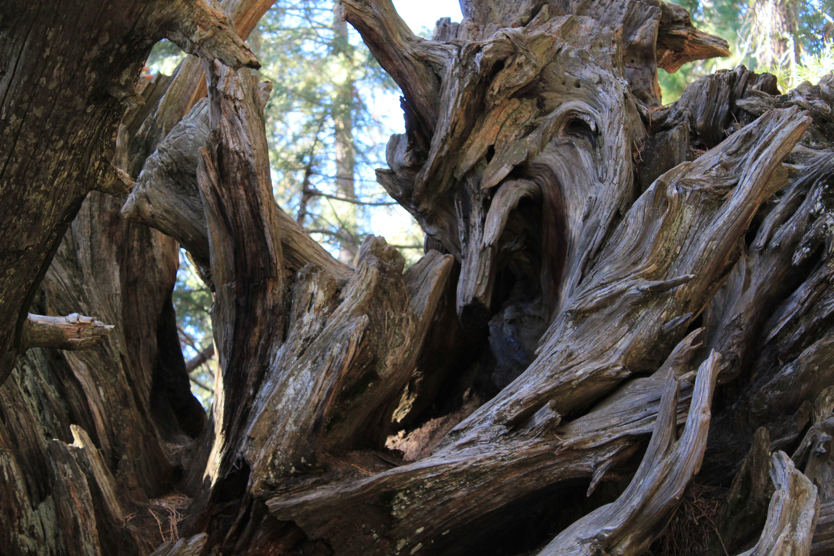 Free stock photo of national park, roots, sequoia, wood