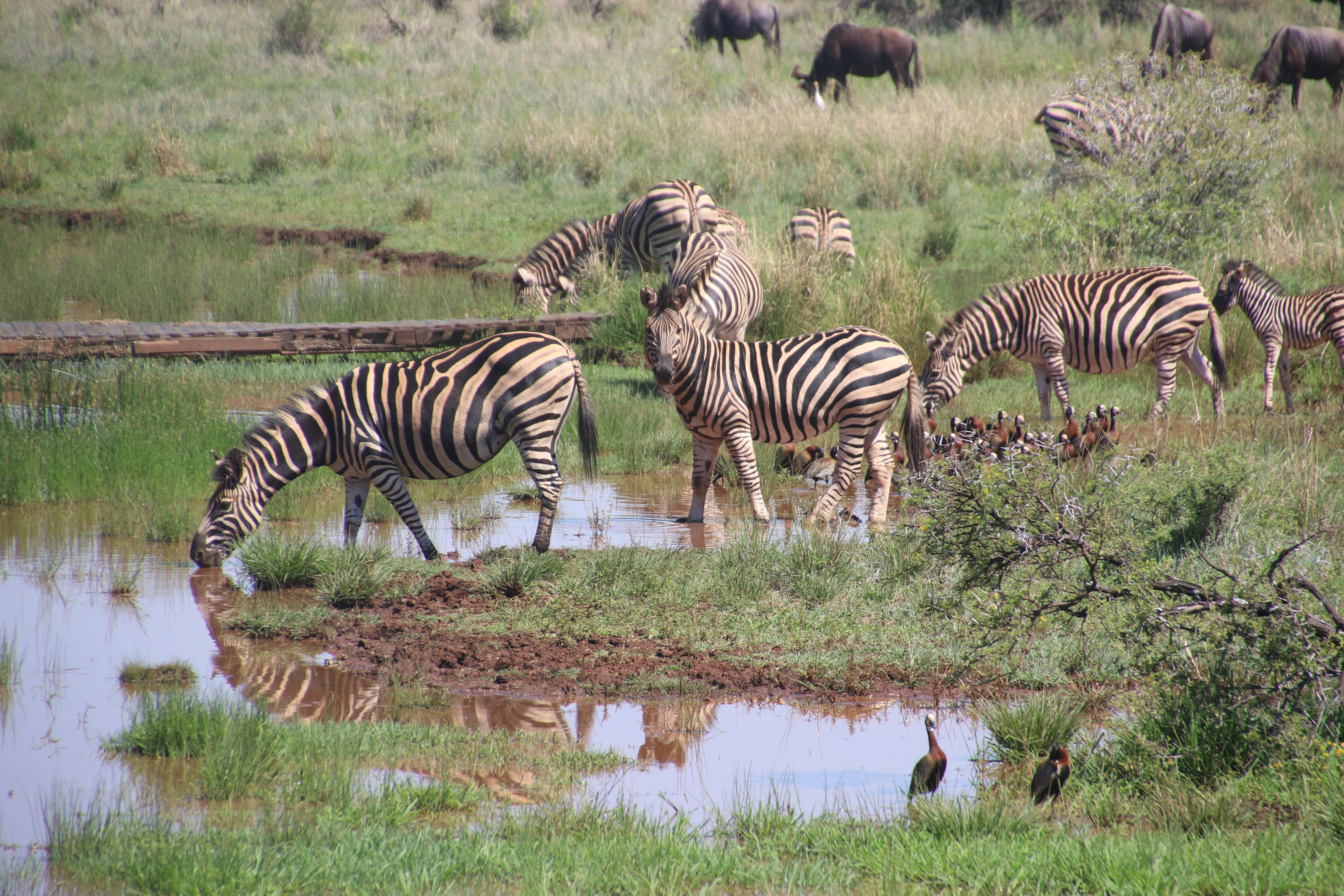 Herd of Zebras on Body of Water With Grass