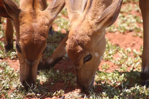 Two Brown Deers Eating Grass