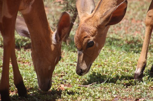 Two Brown Deers on Grass Field