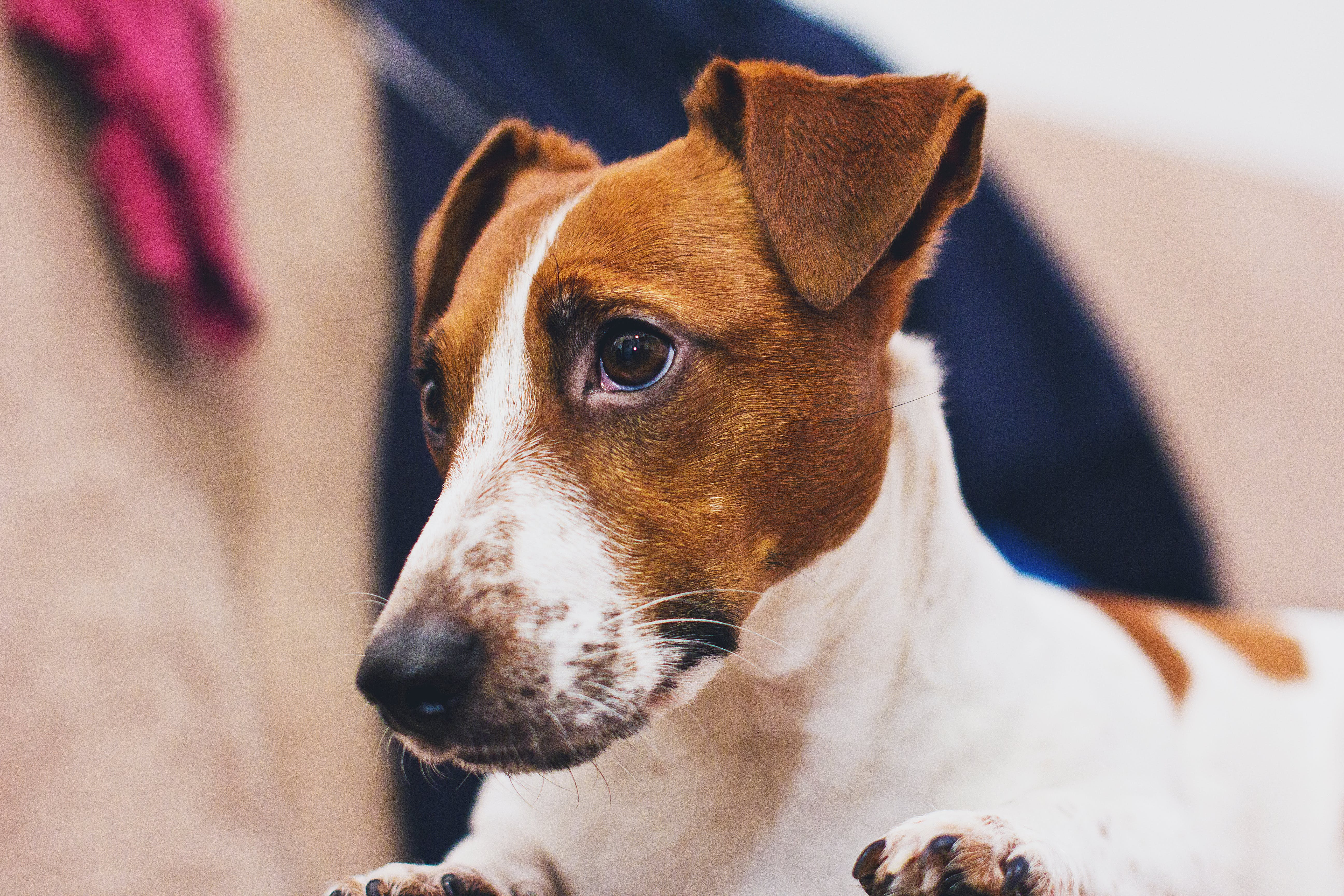 Still Life Photo of White and Brown Dog