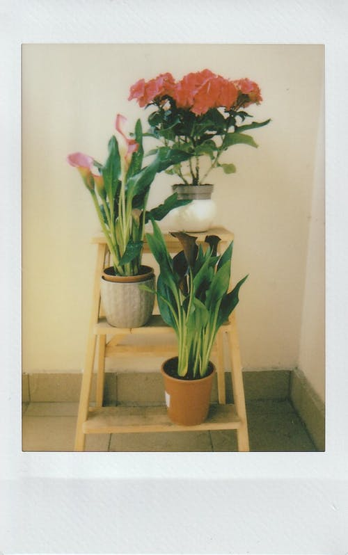 Free stock photo of calla lily, film photo, film photography