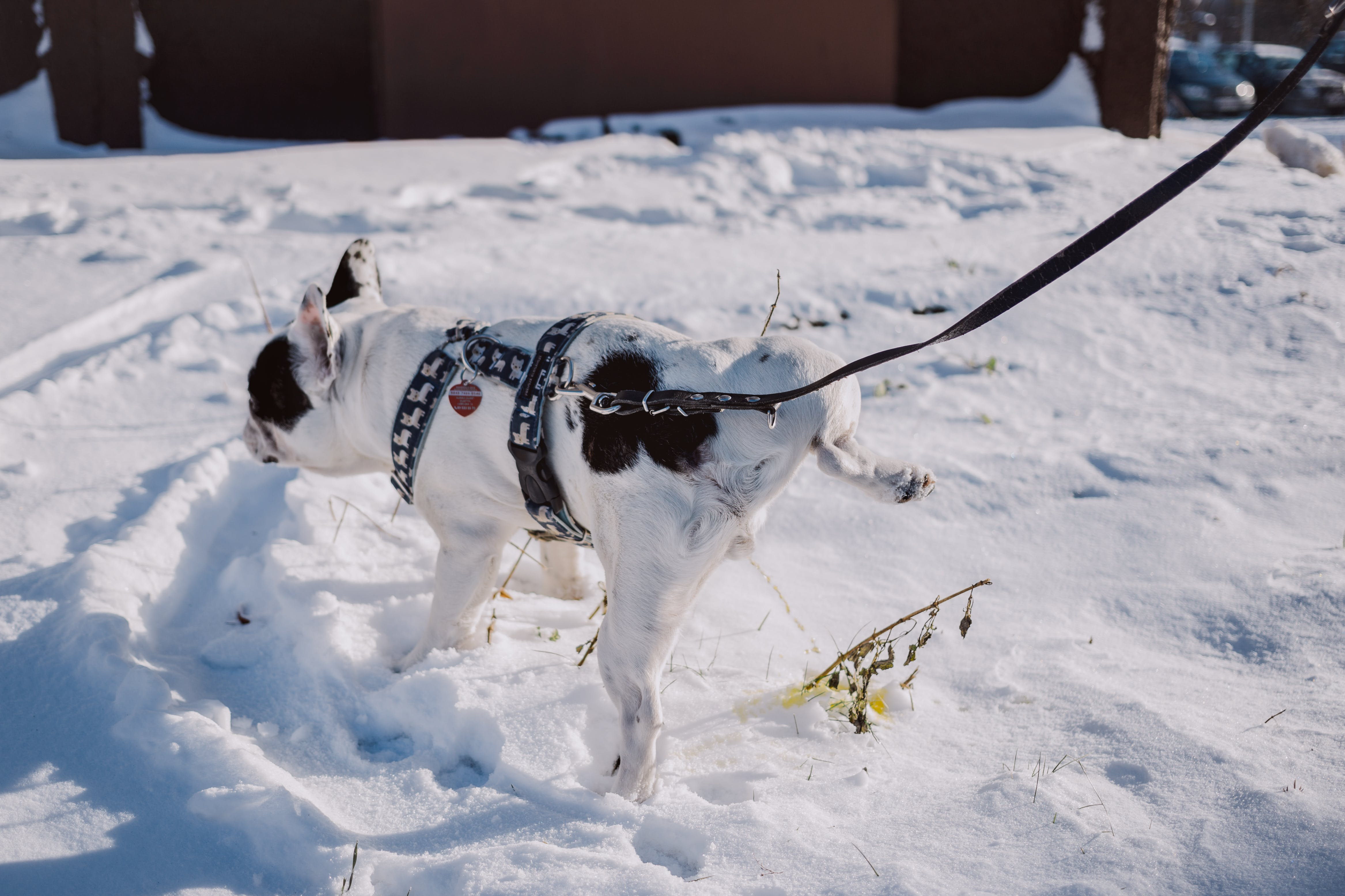 Adult Short-coated White and Black Dog With Black Harness on Top of Snow