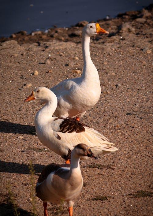 Free stock photo of animal, bird, feathers
