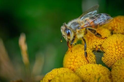Immagine gratuita di ape, ape da miele, erba
