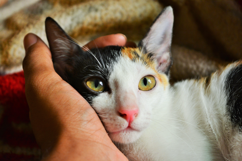 Photos gratuites de à fourrure, animal, animal de compagnie, chat
