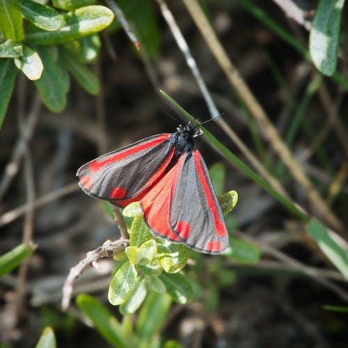 Free stock photo of cinnabar moth, grass, moth