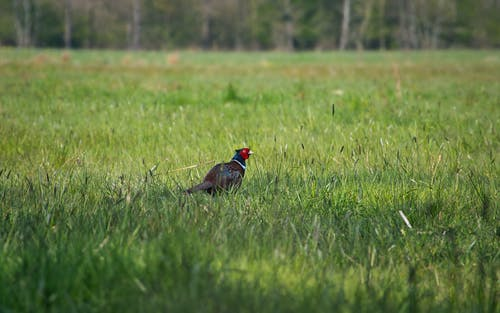 Black and Red Bird on Green Grass Field