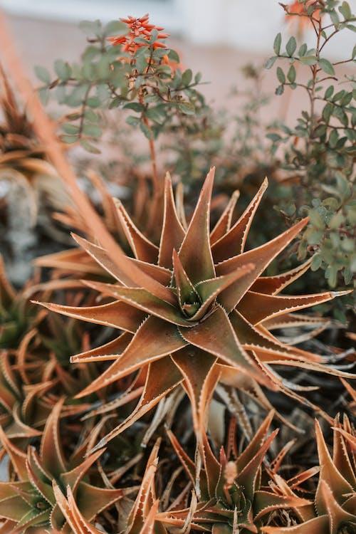 Darmowe zdjęcie z galerii z agawa, aloes, flora