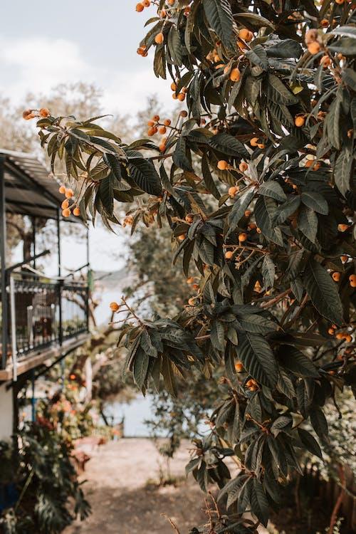 Gratis stockfoto met besjes, bessen, bladeren