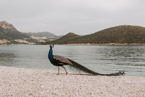 Peacock on Brown Sand Near Body of Water