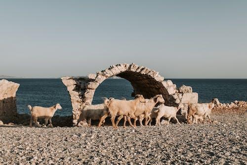 Darmowe zdjęcie z galerii z koza, kozy, lato
