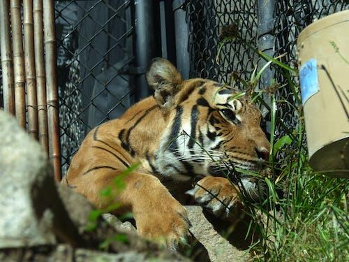 Kostenloses Stock Foto zu gefährdet, gestreift, zoo