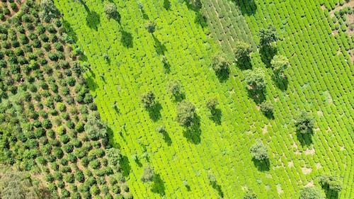 Free stock photo of field, tea, tea field
