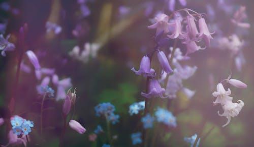 Kostenloses Stock Foto zu blatt, blauen blüten, blume