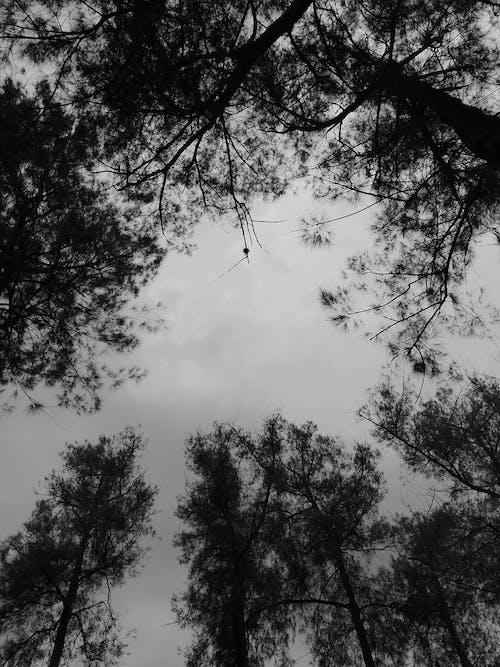 Δωρεάν στοκ φωτογραφιών με αειθαλής, αυγή, δέντρο