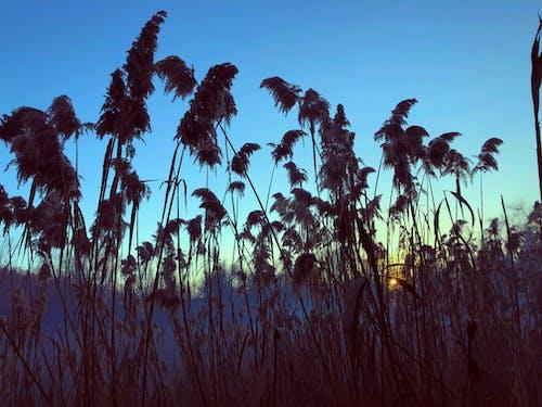 Free stock photo of aquatic plants, blue sky, bulrush