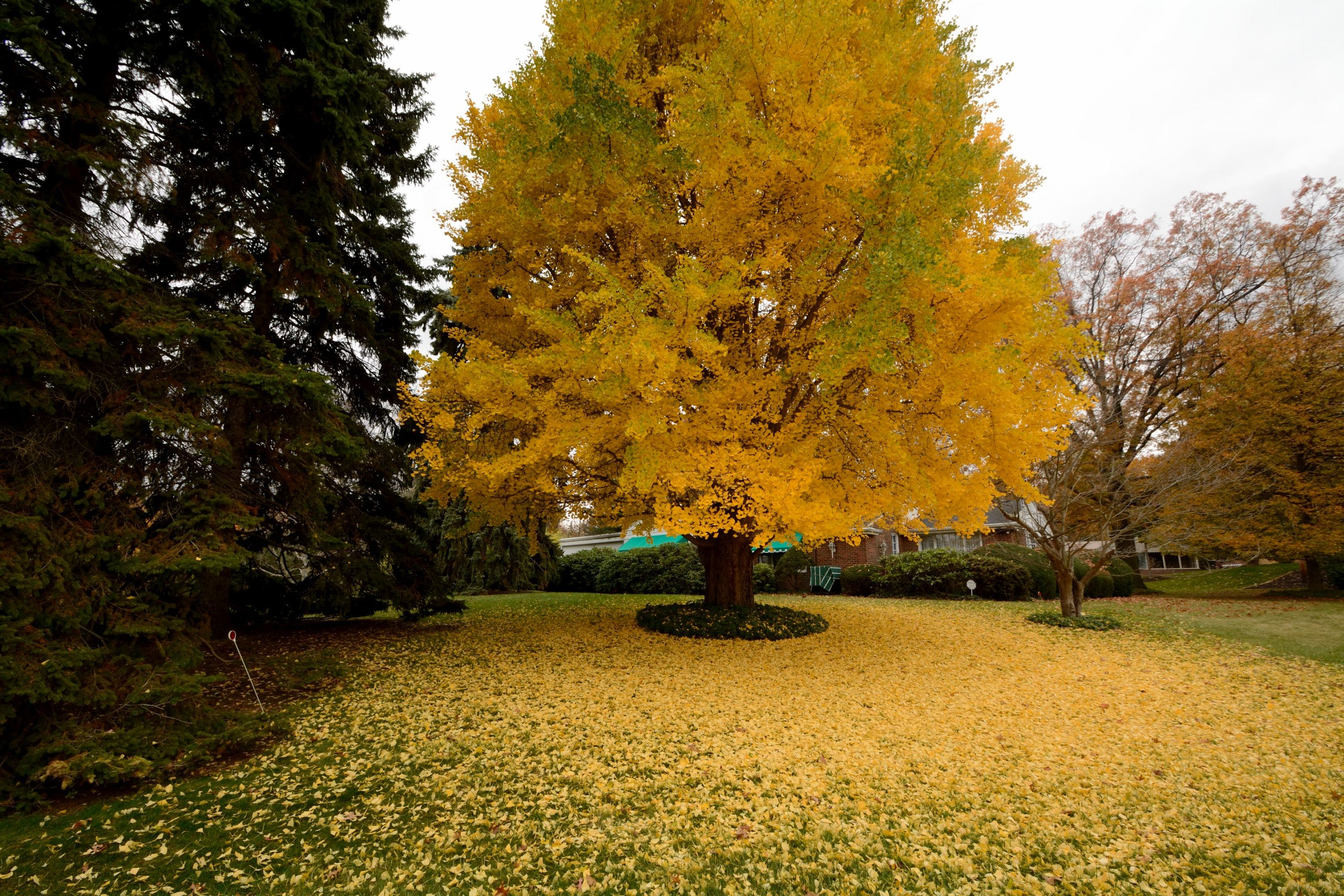 Free stock photo of yellow, leaves, tree, autumn