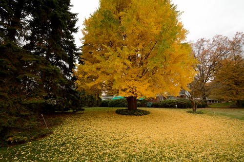 Free stock photo of tree, yellow