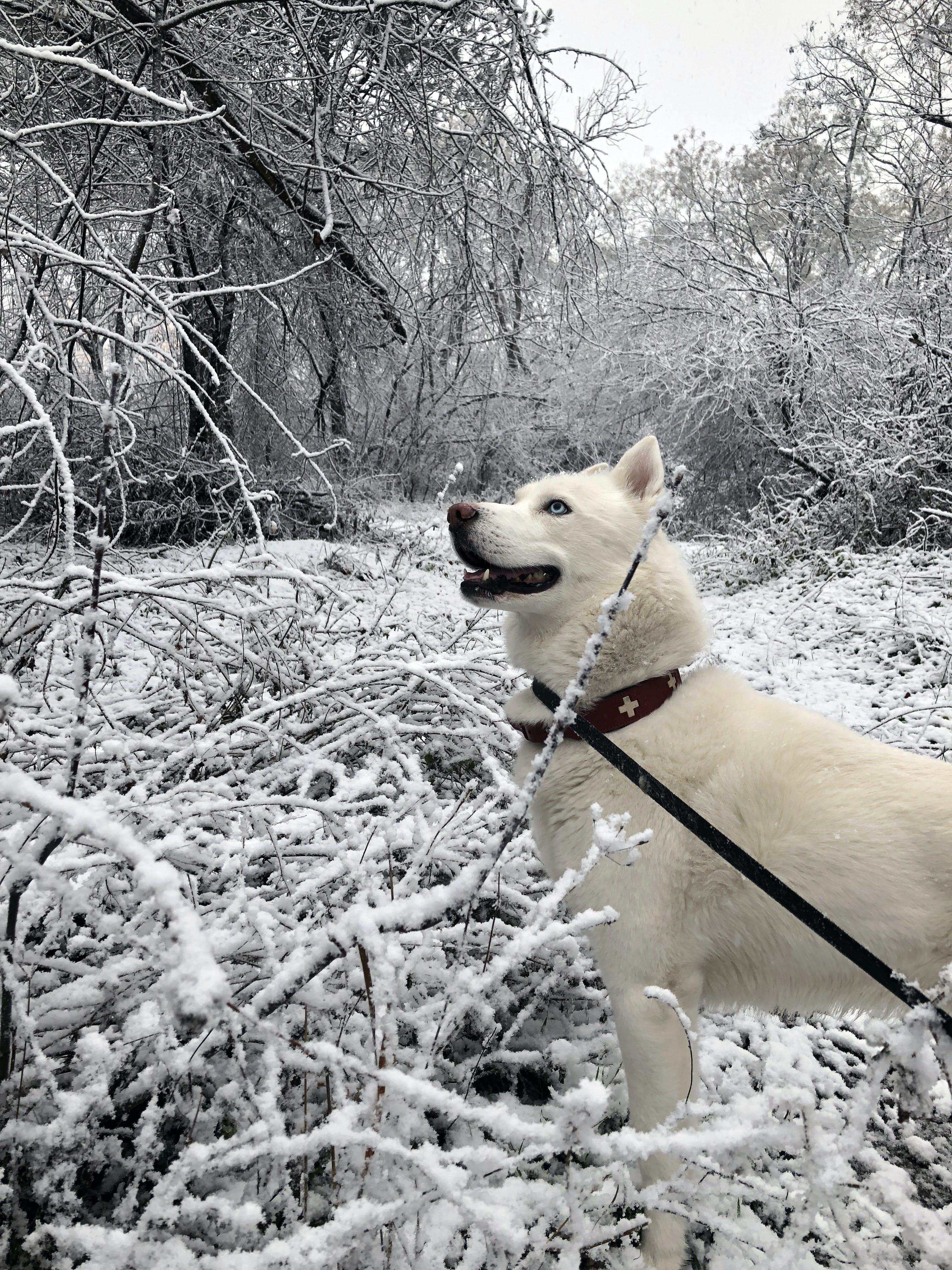 Gratis arkivbilde med hvit hund, hvit husky, park, sibirsk husky