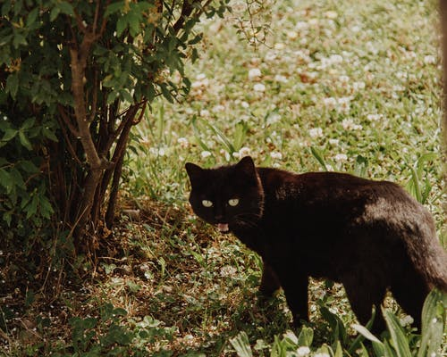 Black Cat Standing on Green Grass